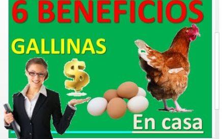 gallinas ponedoras en casa   6 beneficios . ponedoras de huevos